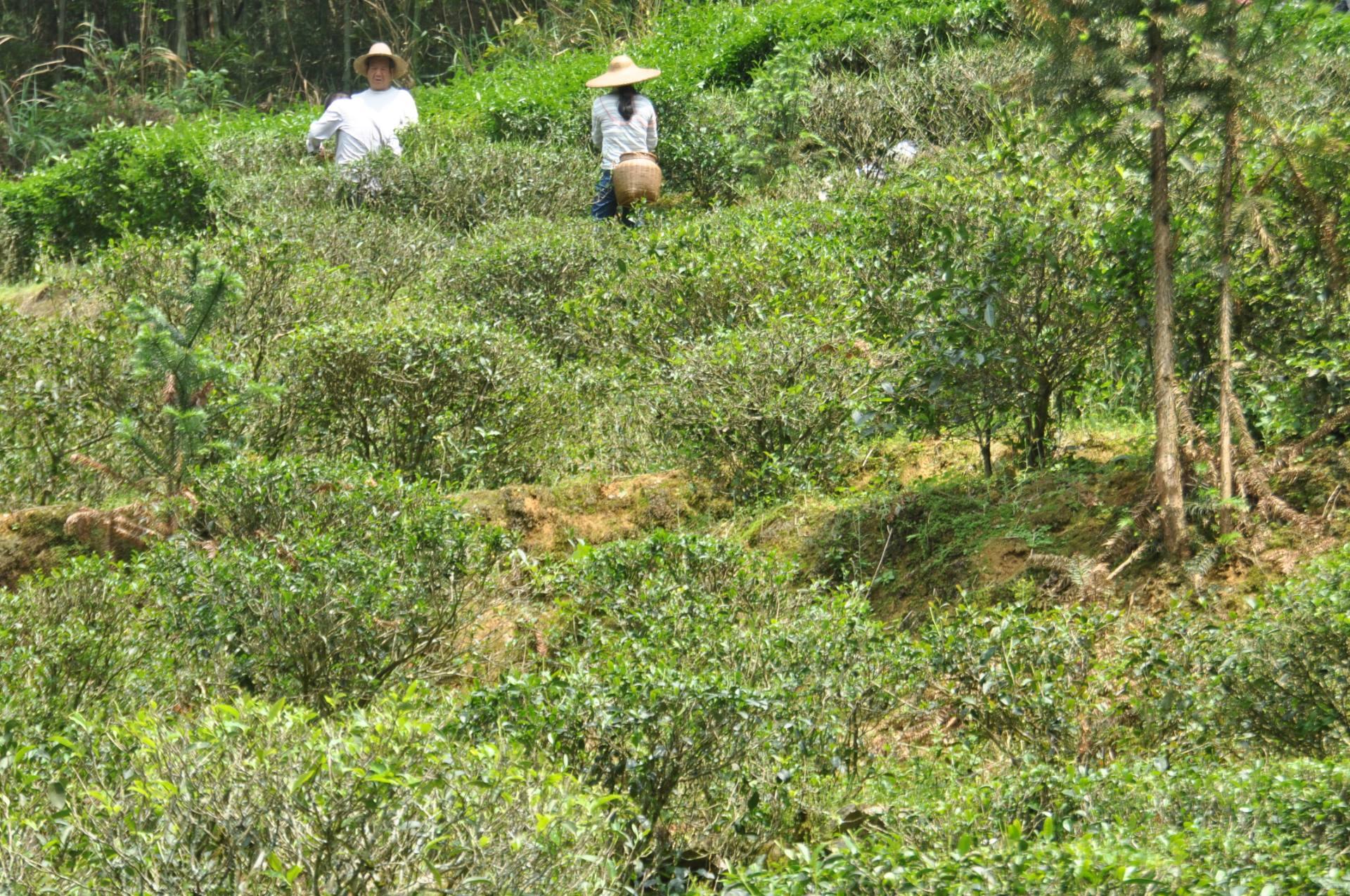 采茶工——春天里,茶园中最美的风景线