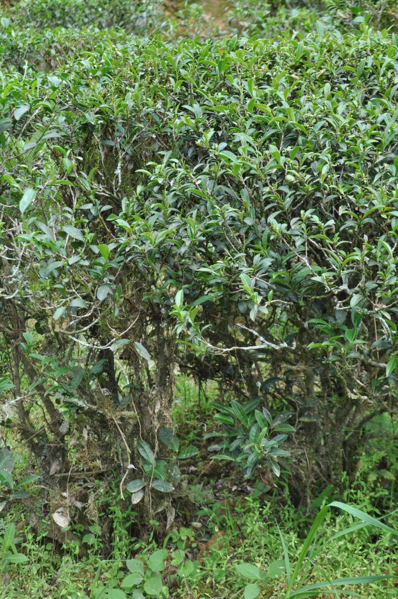 丰顺县洋西坑:醉迷古茶树的诗意与沧桑