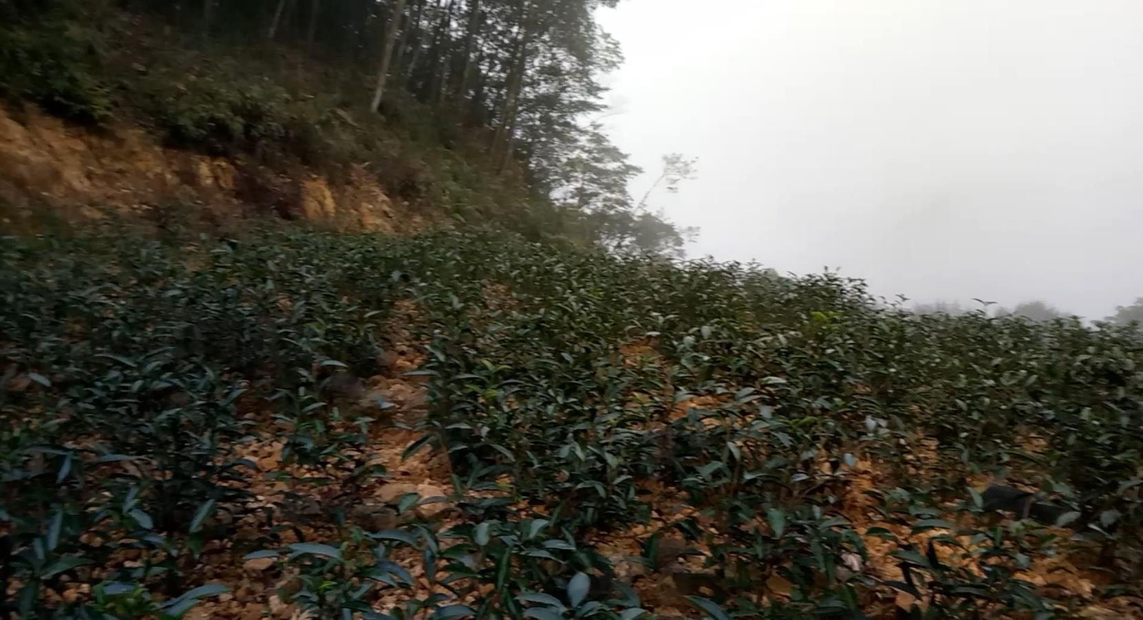 丰顺县洋西坑关爷顶的原生态高山茶园