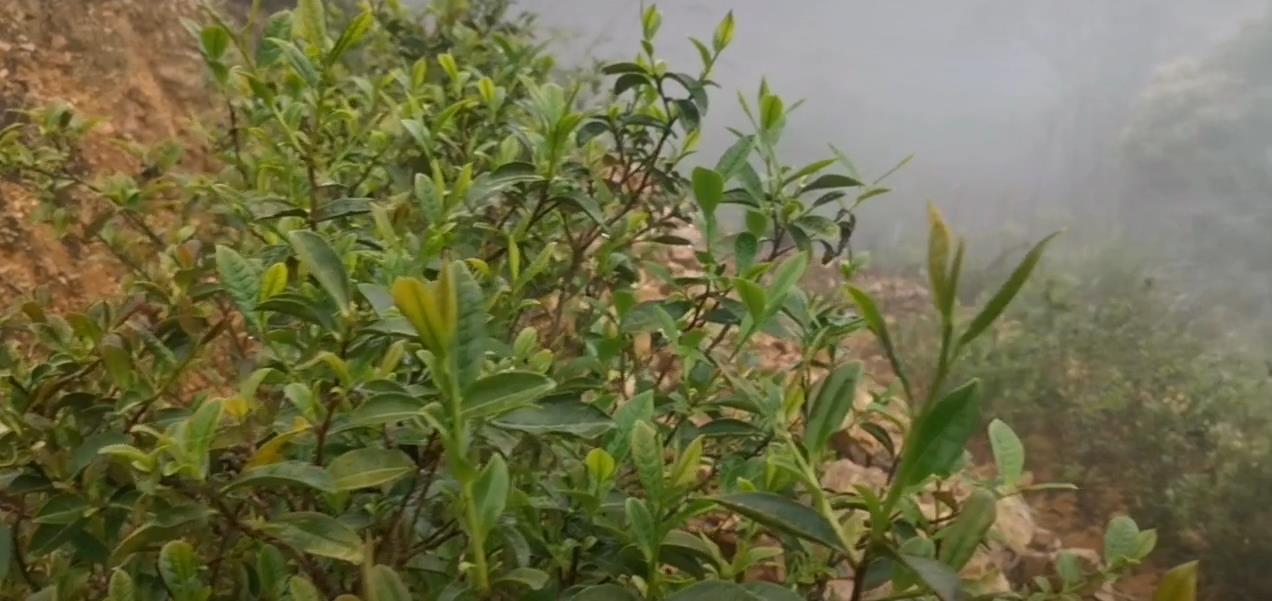 春风里:2020年丰顺县洋西坑原生态高山茶园风光