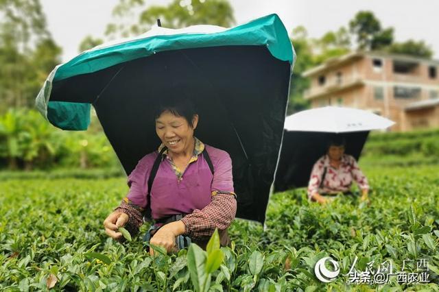 广西灵山:小小茶叶托起脱贫致富梦