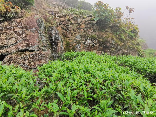 什么是客家绿茶?好的客家绿茶通常具有什么特点?