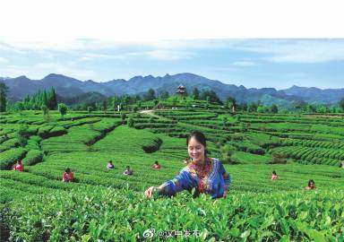 汉中成为西北地区最大的茶产业基地